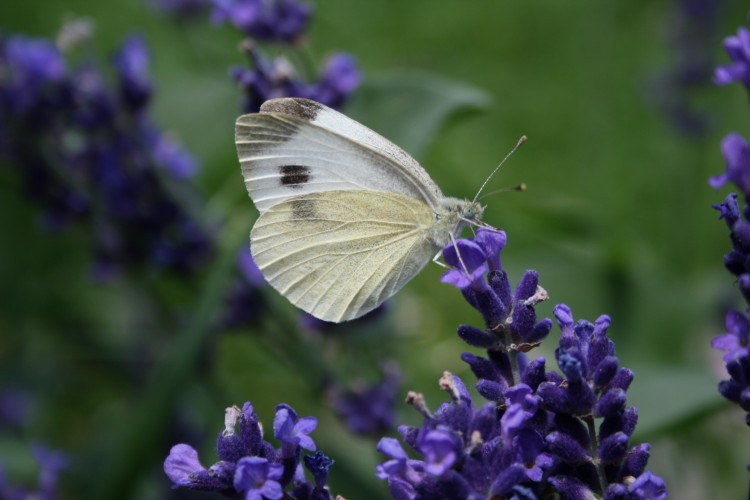 Wallpapers Animals Insects - Butterflies Papillon sur lavande