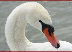 Wallpapers Animals Cygne saluant