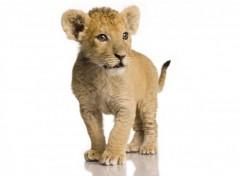 Fonds d'écran Animaux Lionceau