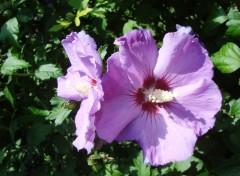 Fonds d'écran Nature hibiscus