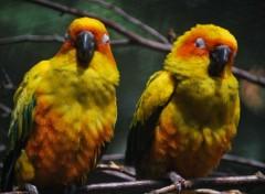 Fonds d'écran Animaux Deux petits oiseaux