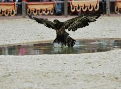 Fonds d'écran Animaux Aigle du zoo d'Amnéville
