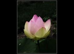 Wallpapers Nature Lotus