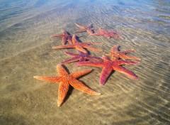 Fonds d'écran Animaux étoile de mer