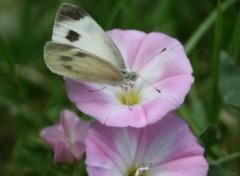 Wallpapers Animals Papillon sur Liseron