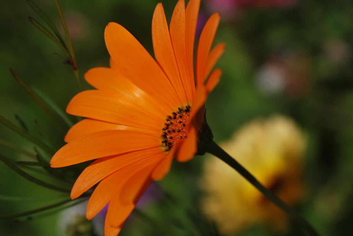 Fonds d'écran Nature Fleurs Une fleur orange