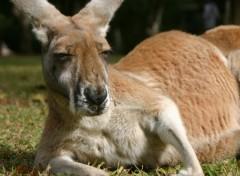 Fonds d'écran Animaux Kangourous