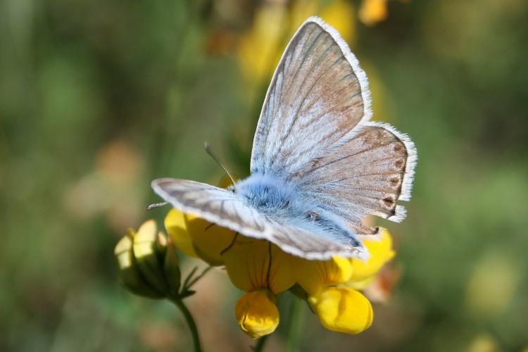 Fonds d'écran Animaux Insectes - Papillons Papillon bleu clair
