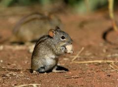 Fonds d'écran Animaux Rhabdomys pumilio / Rat rayé / Striped Mouse