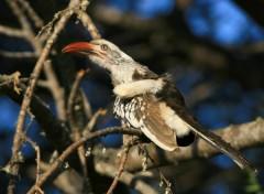 Fonds d'écran Animaux Calao d'Afrique du Sud / Southern red-billed Hornbill / Tockus rufirostris