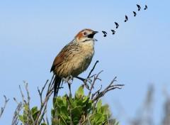 Fonds d'écran Animaux Sphénoèque du Cap - Sphenoeacus afer - Cape Grassbird