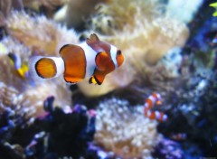 Wallpapers Animals Poisson Clown