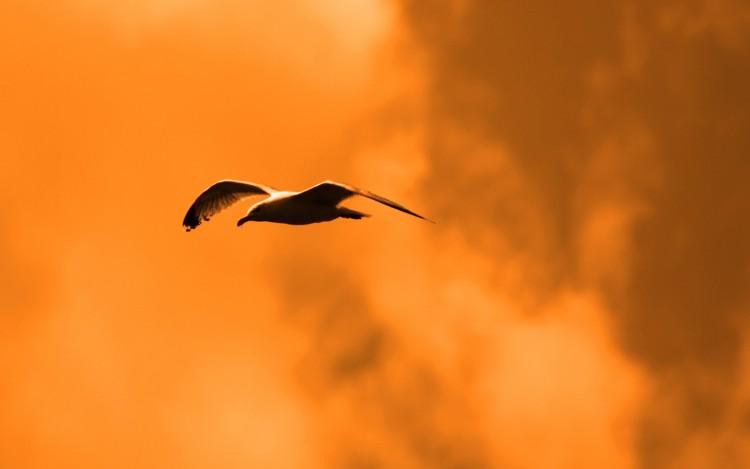 Wallpapers Animals Birds - Gulls Mouette saint malo saint cast recolorisée