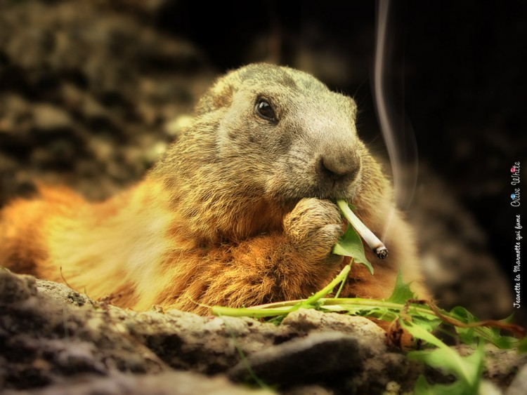 Wallpapers Humor Animals Jeanette la Marmotte sui fume