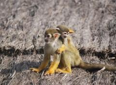 Fonds d'écran Animaux Petits singes