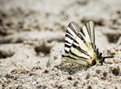 Wallpapers Animals Papillon de sable