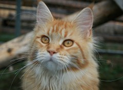 Wallpapers Animals Chat  Maine Coon
