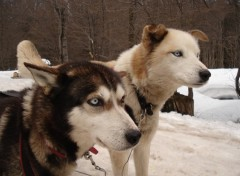 Wallpapers Animals Chiens Alaskans