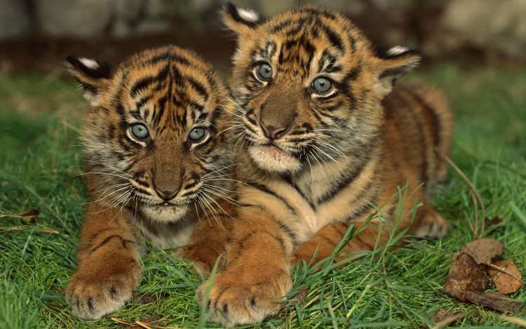 Fonds d'écran Animaux Félins - Tigres Deux frères...
