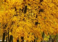 Fonds d'écran Nature Feuilles d'or