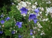 Fonds d'écran Nature fleurs bleues et blanches