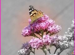 Fonds d'écran Animaux Papillon sur fleur