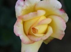 Fonds d'écran Nature Jolie rose jaune