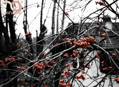 Fonds d'écran Nature Fruits Rouges