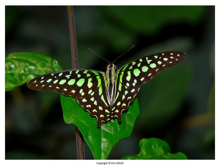 Wallpapers Animals Insects - Butterflies Wallpaper N°252161