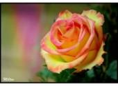 Fonds d'écran Nature Fleurs - Une rose à mon aimée.