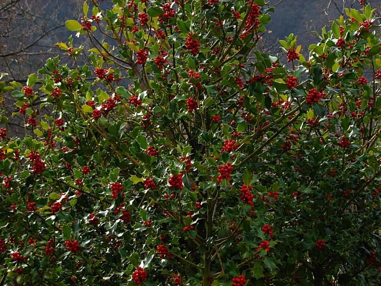 Fonds d'écran Nature Arbres - Forêts Arbre : le houx