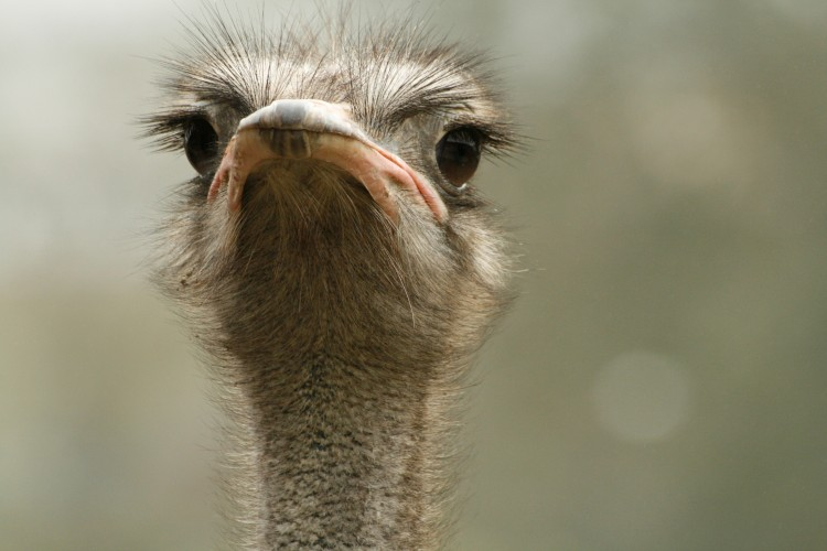 Wallpapers Animals Birds - Ostriches and Emus Wallpaper N°253074