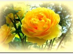Fonds d'écran Nature rose jaune