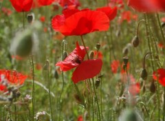 Wallpapers Nature champs de coquelicots