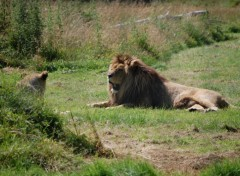 Wallpapers Animals Lion Parc des Felins
