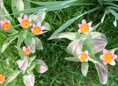 Fonds d'écran Nature Tulipes
