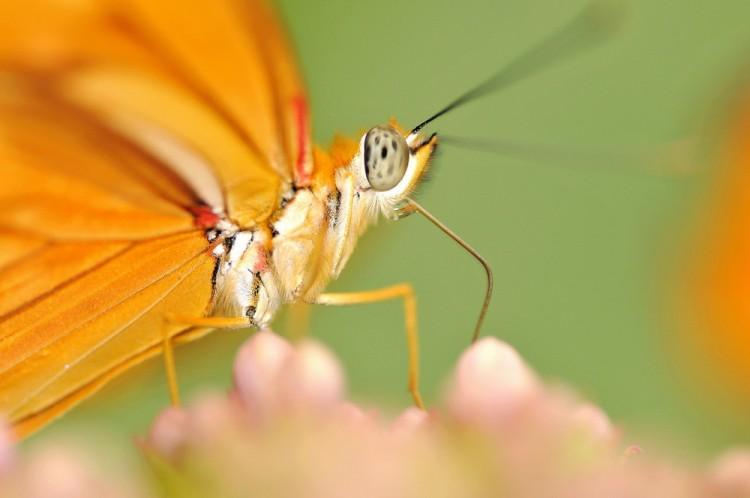 Fonds d'écran Animaux Insectes - Papillons Wallpaper N°258176