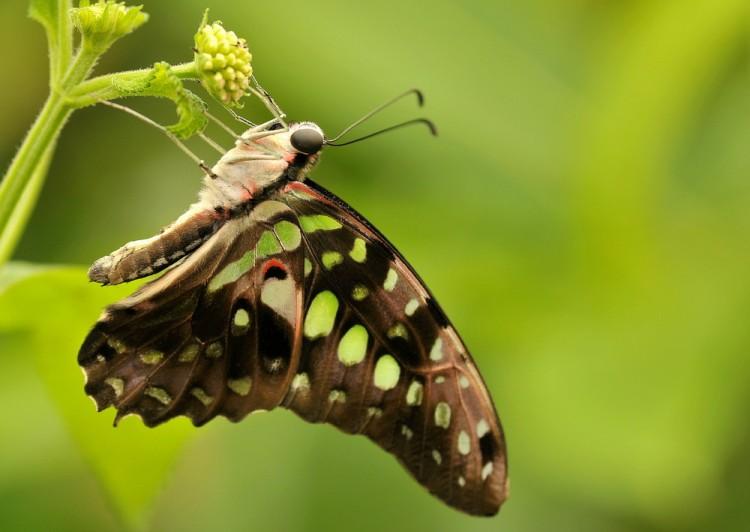 Fonds d'écran Animaux Insectes - Papillons Wallpaper N°258177