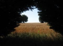 Fonds d'écran Nature Champ de blé