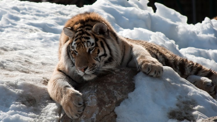 Wallpapers Animals Felines - Tigers tigre repos