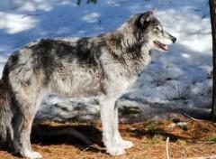 Fonds d'écran Animaux loup