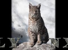 Wallpapers Animals lynx