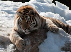 Wallpapers Animals tigre repos