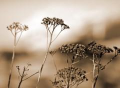 Fonds d'écran Nature fleurs séchées