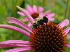 Fonds d'écran Animaux l'abeille et la fleur