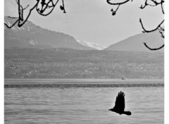 Fonds d'écran Nature black bird