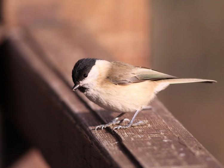 Fonds d'écran Animaux Oiseaux - Passereaux Mésange boréale / Poecile montanus