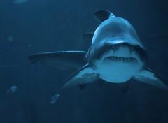 Fonds d'écran Animaux Requins