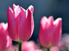 Wallpapers Nature tulipes