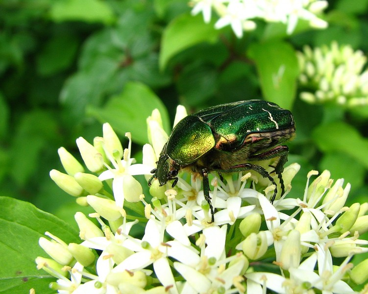 Wallpapers Animals Insects - Beetles Scarabée
